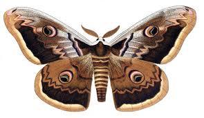 Papillon-DS